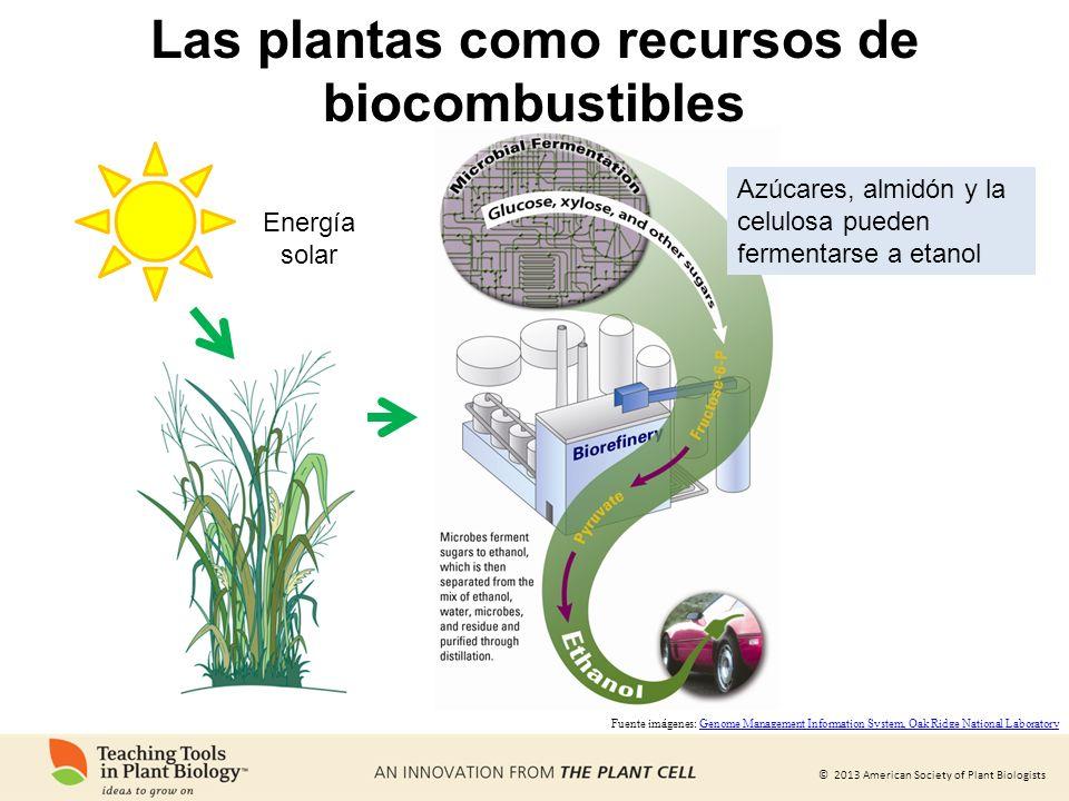 © 2013 American Society of Plant Biologists Las plantas como recursos de biocombustibles Energía solar Fuente imágenes: Genome Management Information