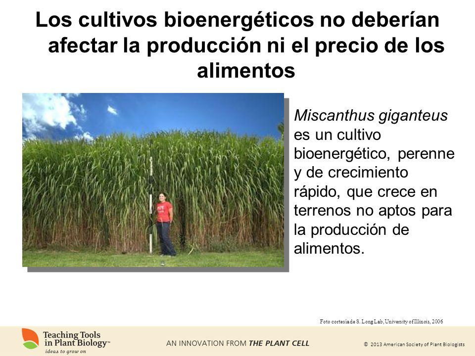 © 2013 American Society of Plant Biologists Los cultivos bioenergéticos no deberían afectar la producción ni el precio de los alimentos Miscanthus gig