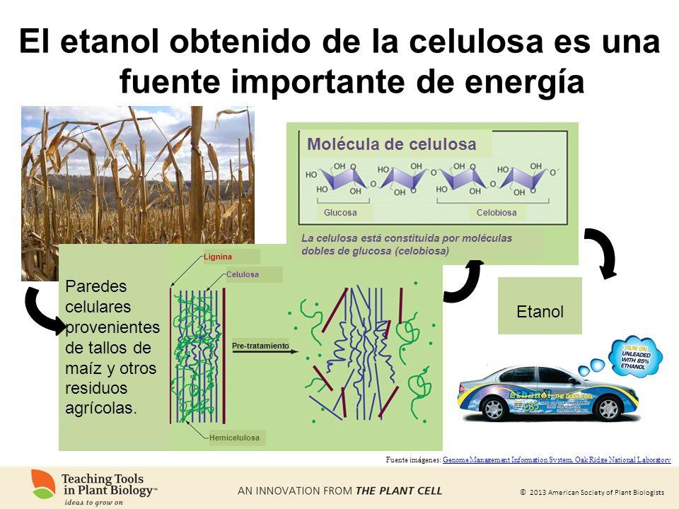 © 2013 American Society of Plant Biologists El etanol obtenido de la celulosa es una fuente importante de energía Paredes celulares provenientes de ta