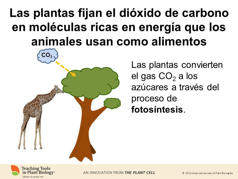 © 2013 American Society of Plant Biologists Las plantas fijan el dióxido de carbono en moléculas ricas en energía que los animales usan como alimentos