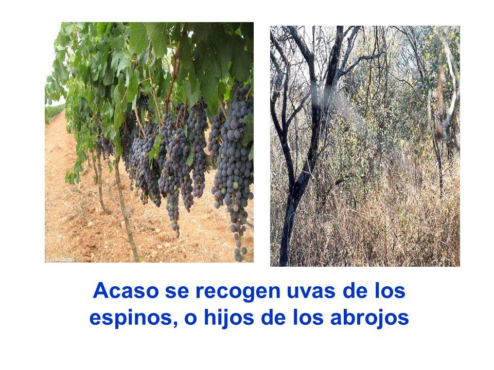 Acaso se recogen uvas de los espinos, o hijos de los abrojos