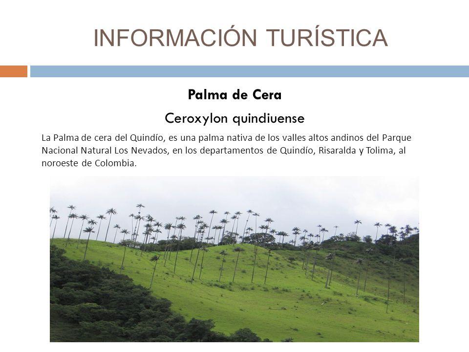 INFORMACIÓN TURÍSTICA Palma de Cera Ceroxylon quindiuense La Palma de cera del Quindío, es una palma nativa de los valles altos andinos del Parque Nacional Natural Los Nevados, en los departamentos de Quindío, Risaralda y Tolima, al noroeste de Colombia.