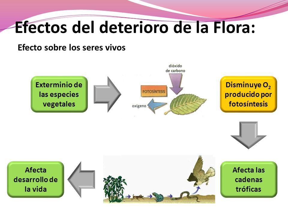 Efectos del deterioro de la Flora: Efecto sobre los seres vivos Exterminio de las especies vegetales Afecta desarrollo de la vida Afecta las cadenas tróficas Disminuye O 2 producido por fotosíntesis