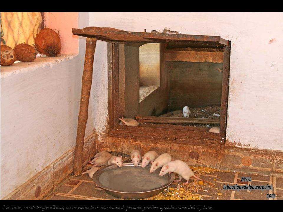 En el pequeño templo de Karni, como en el cercano Karni Mata, viven ratas sagradas.