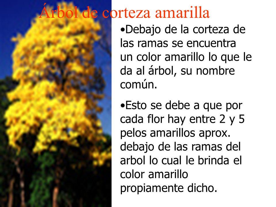 Árbol de corteza amarilla Debajo de la corteza de las ramas se encuentra un color amarillo lo que le da al árbol, su nombre común. Esto se debe a que