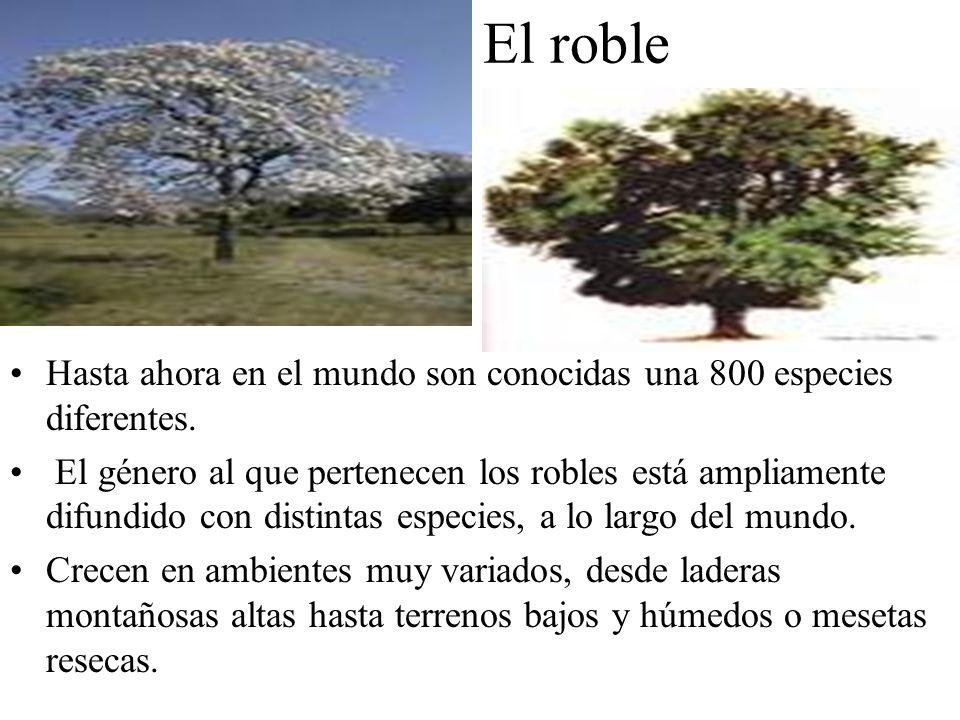 El roble Hasta ahora en el mundo son conocidas una 800 especies diferentes. El género al que pertenecen los robles está ampliamente difundido con dist