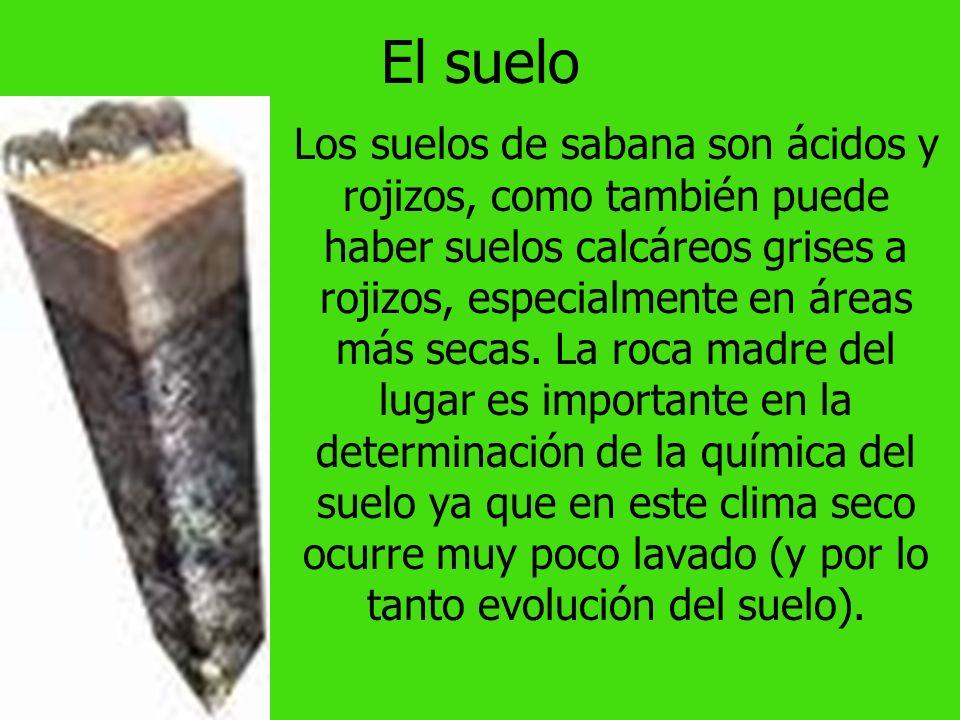 El suelo Los suelos de sabana son ácidos y rojizos, como también puede haber suelos calcáreos grises a rojizos, especialmente en áreas más secas.