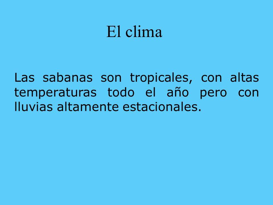 El clima Las sabanas son tropicales, con altas temperaturas todo el año pero con lluvias altamente estacionales.