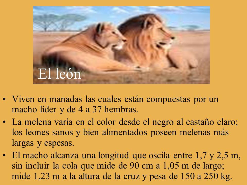 El león Viven en manadas las cuales están compuestas por un macho líder y de 4 a 37 hembras. La melena varía en el color desde el negro al castaño cla