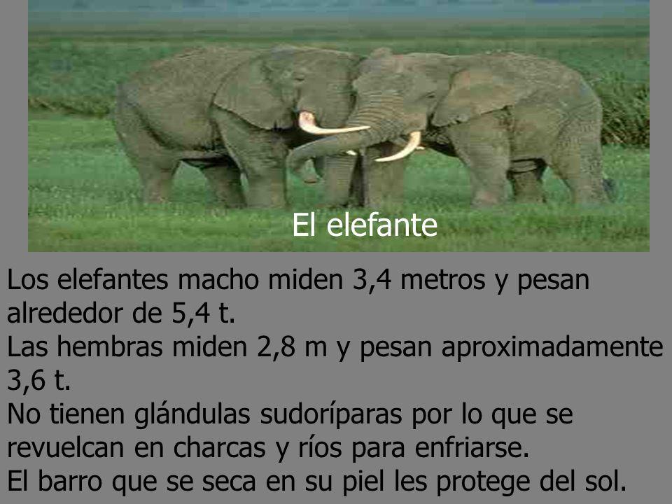 Los elefantes macho miden 3,4 metros y pesan alrededor de 5,4 t.