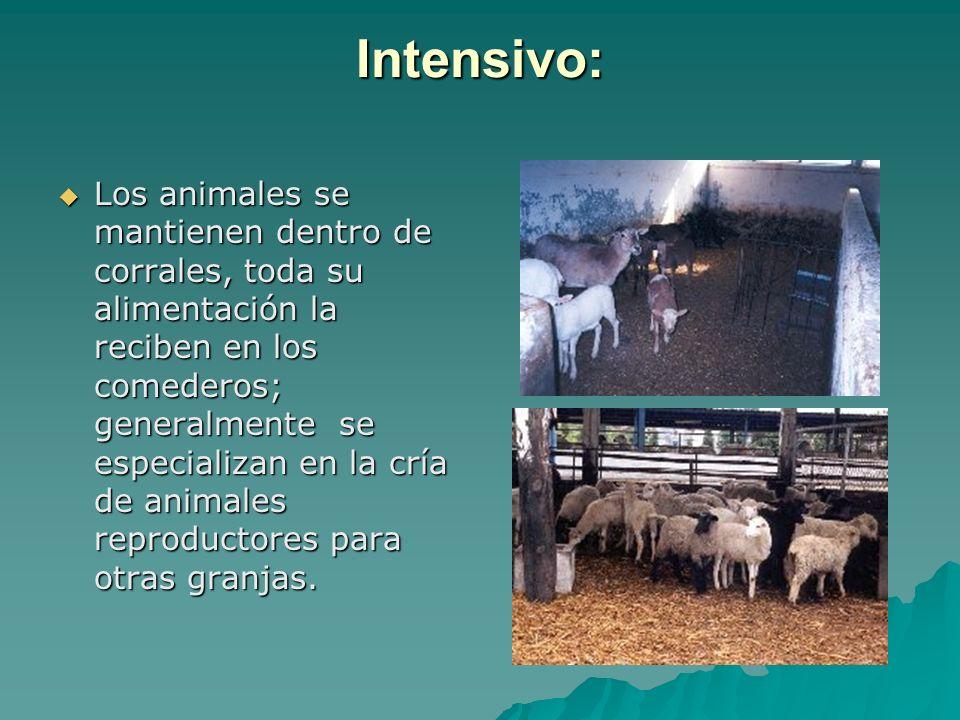 Intensivo: Los animales se mantienen dentro de corrales, toda su alimentación la reciben en los comederos; generalmente se especializan en la cría de