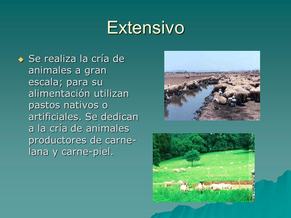 Extensivo Se realiza la cría de animales a gran escala; para su alimentación utilizan pastos nativos o artificiales. Se dedican a la cría de animales