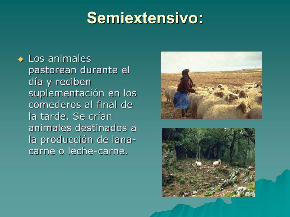 Semiextensivo: Los animales pastorean durante el día y reciben suplementación en los comederos al final de la tarde. Se crían animales destinados a la