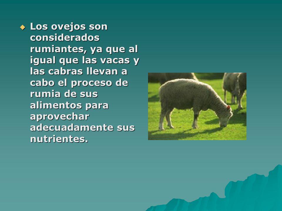 Los ovejos son considerados rumiantes, ya que al igual que las vacas y las cabras llevan a cabo el proceso de rumia de sus alimentos para aprovechar a