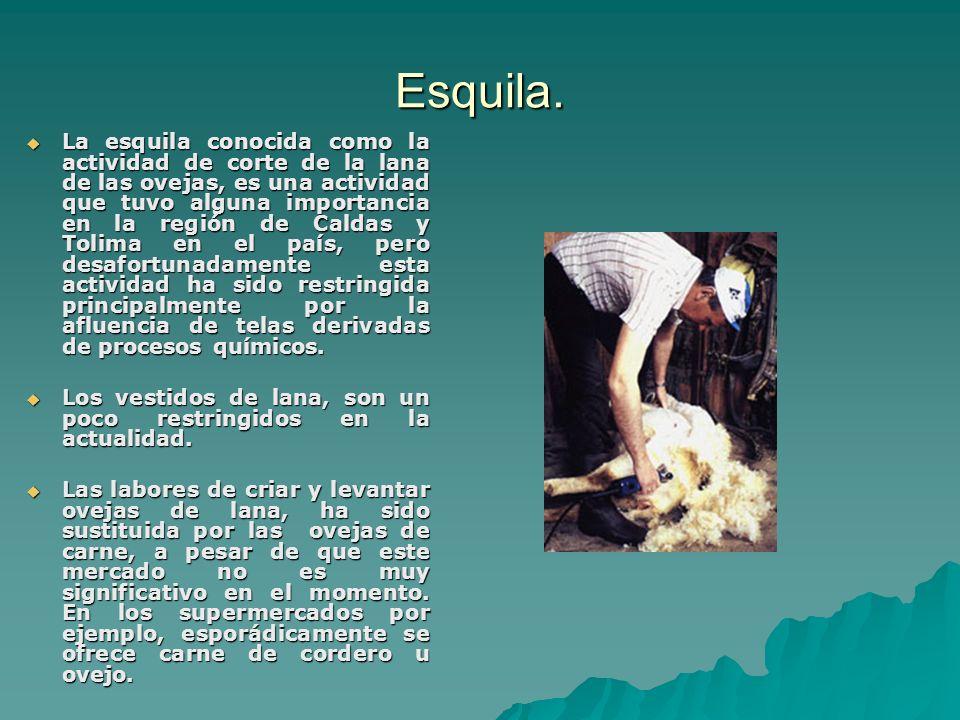 Esquila. La esquila conocida como la actividad de corte de la lana de las ovejas, es una actividad que tuvo alguna importancia en la región de Caldas