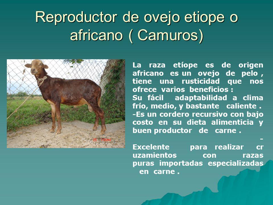 Reproductor de ovejo etiope o africano ( Camuros) La raza etíope es de origen africano es un ovejo de pelo, tiene una rusticidad que nos ofrece varios