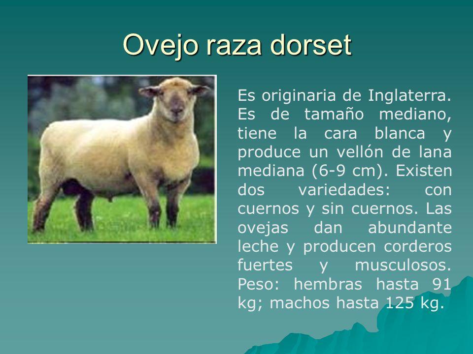 Ovejo raza dorset Es originaria de Inglaterra. Es de tamaño mediano, tiene la cara blanca y produce un vellón de lana mediana (6-9 cm). Existen dos va