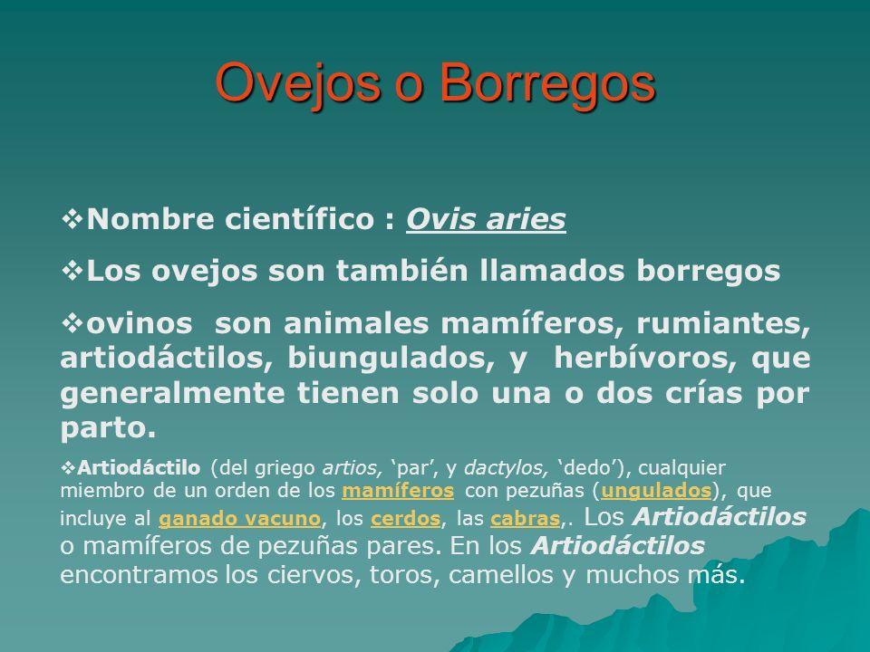 Nombre científico : Ovis aries Los ovejos son también llamados borregos ovinos son animales mamíferos, rumiantes, artiodáctilos, biungulados, y herbív