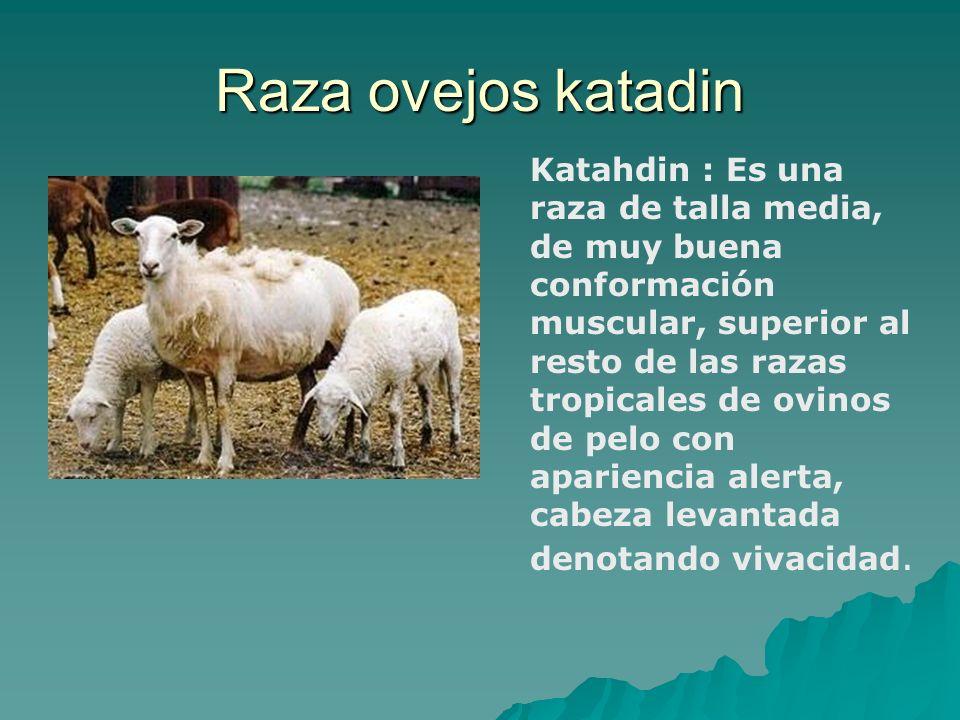 Raza ovejos katadin Katahdin : Es una raza de talla media, de muy buena conformación muscular, superior al resto de las razas tropicales de ovinos de