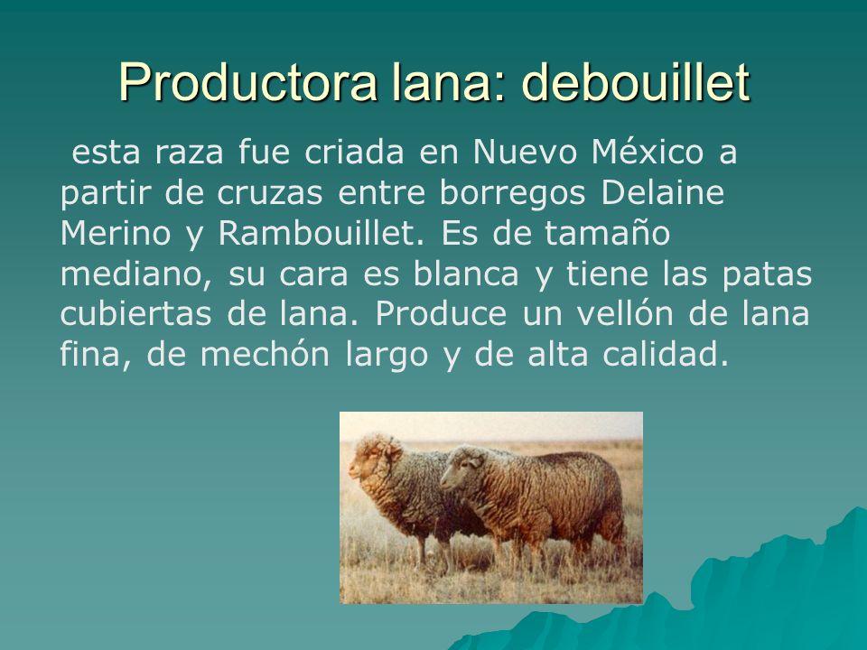 esta raza fue criada en Nuevo México a partir de cruzas entre borregos Delaine Merino y Rambouillet. Es de tamaño mediano, su cara es blanca y tiene l