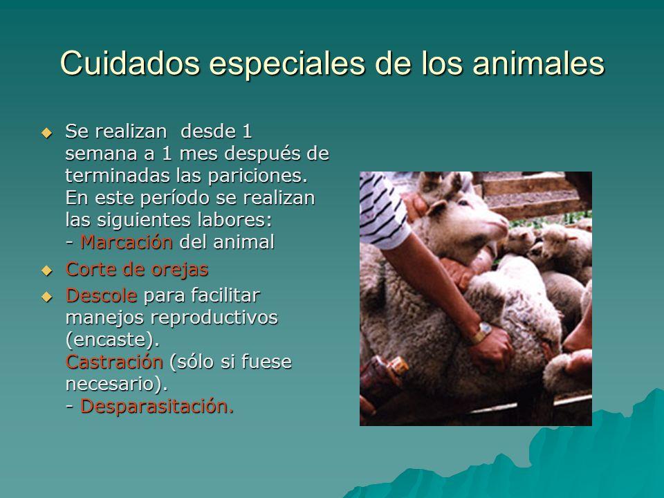 Cuidados especiales de los animales Se realizan desde 1 semana a 1 mes después de terminadas las pariciones. En este período se realizan las siguiente