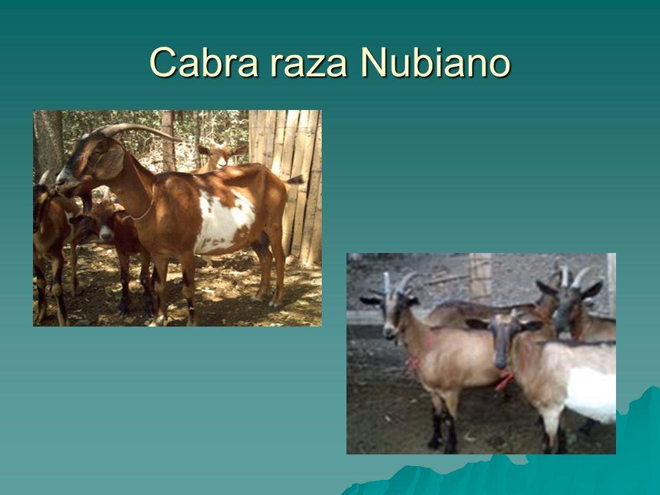 Cabra raza Nubiano