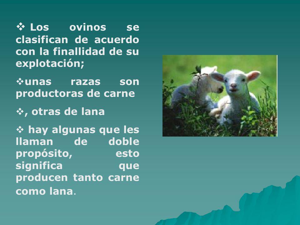 Los ovinos se clasifican de acuerdo con la finallidad de su explotación; unas razas son productoras de carne, otras de lana hay algunas que les llaman