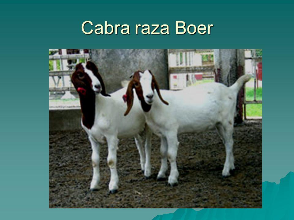 Cabra raza Boer