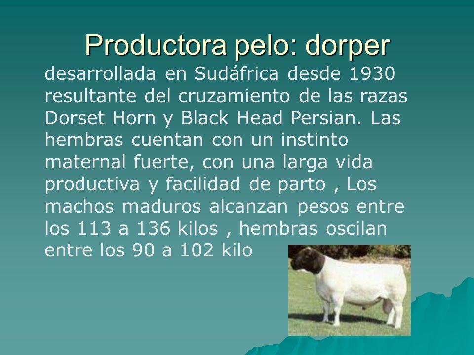 desarrollada en Sudáfrica desde 1930 resultante del cruzamiento de las razas Dorset Horn y Black Head Persian. Las hembras cuentan con un instinto mat