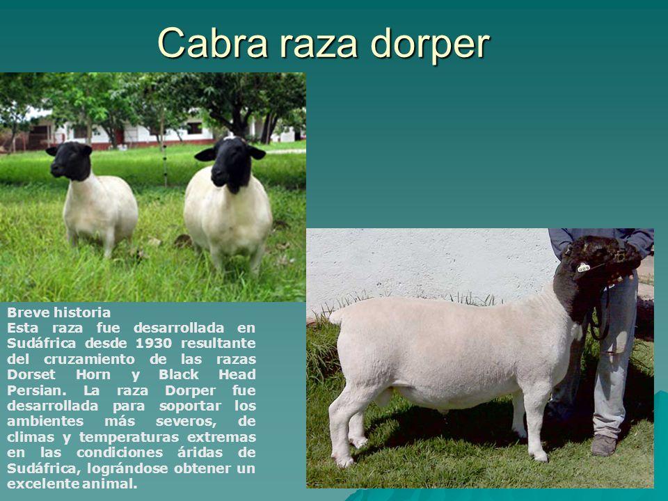 Breve historia Esta raza fue desarrollada en Sudáfrica desde 1930 resultante del cruzamiento de las razas Dorset Horn y Black Head Persian. La raza Do