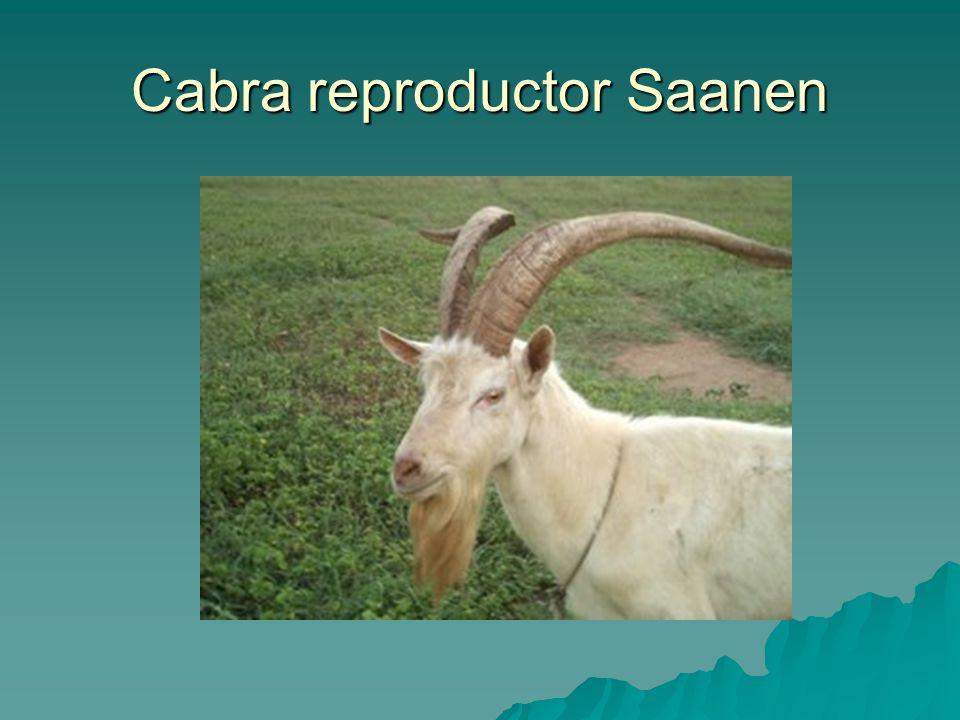 Cabra reproductor Saanen