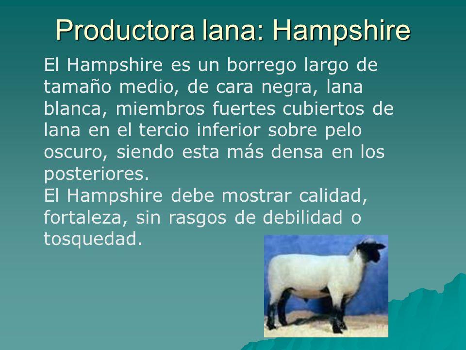 El Hampshire es un borrego largo de tamaño medio, de cara negra, lana blanca, miembros fuertes cubiertos de lana en el tercio inferior sobre pelo oscu