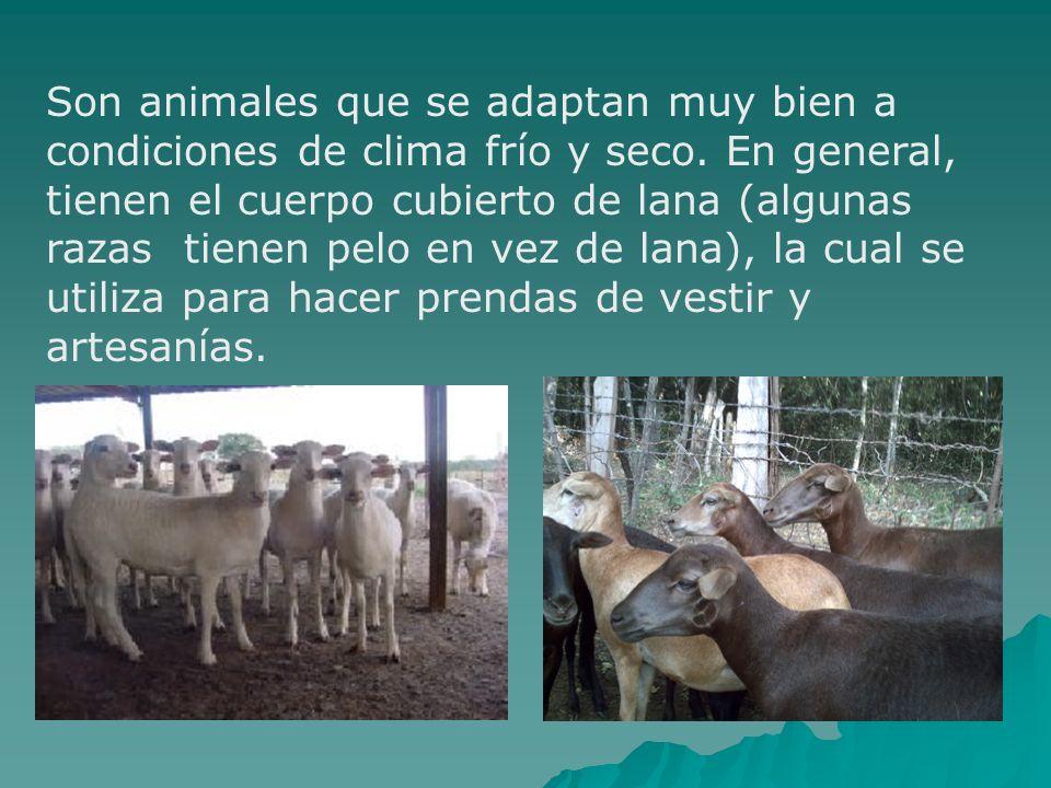 Son animales que se adaptan muy bien a condiciones de clima frío y seco. En general, tienen el cuerpo cubierto de lana (algunas razas tienen pelo en v