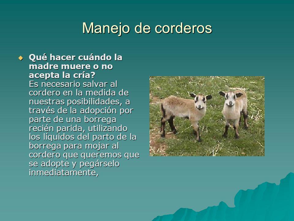 Manejo de corderos Qué hacer cuándo la madre muere o no acepta la cría? Es necesario salvar al cordero en la medida de nuestras posibilidades, a travé