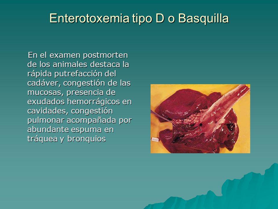 Enterotoxemia tipo D o Basquilla En el examen postmorten de los animales destaca la rápida putrefacción del cadáver, congestión de las mucosas, presen