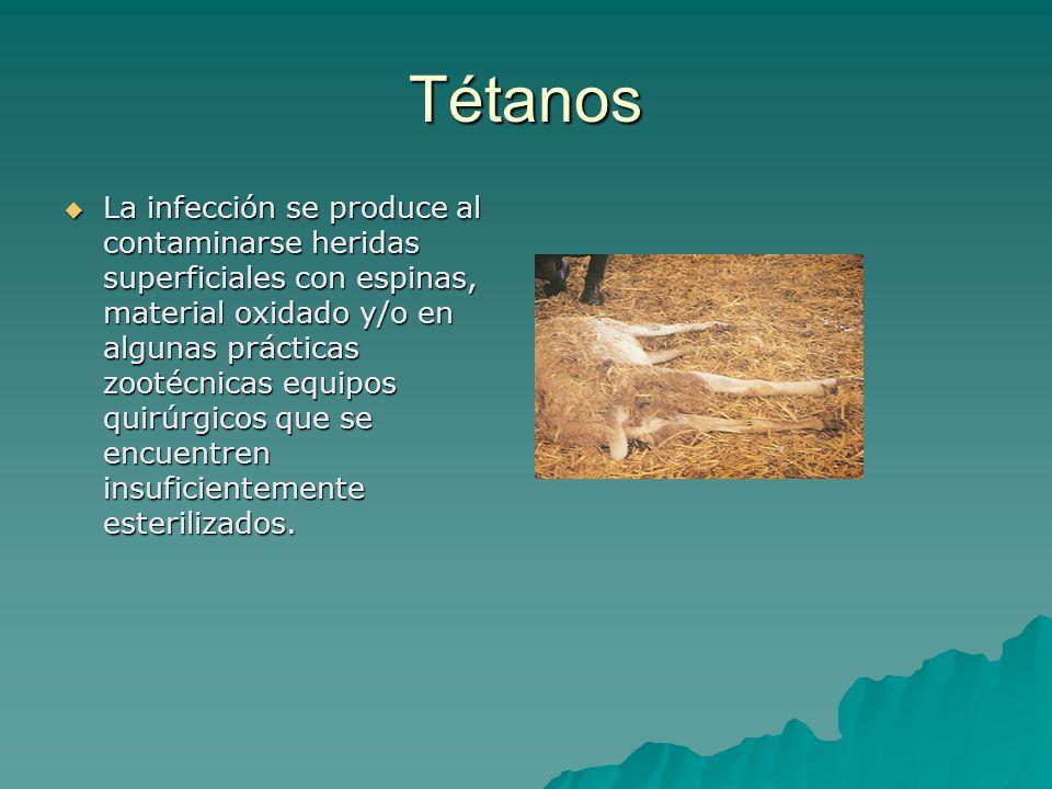 Tétanos La infección se produce al contaminarse heridas superficiales con espinas, material oxidado y/o en algunas prácticas zootécnicas equipos quirú