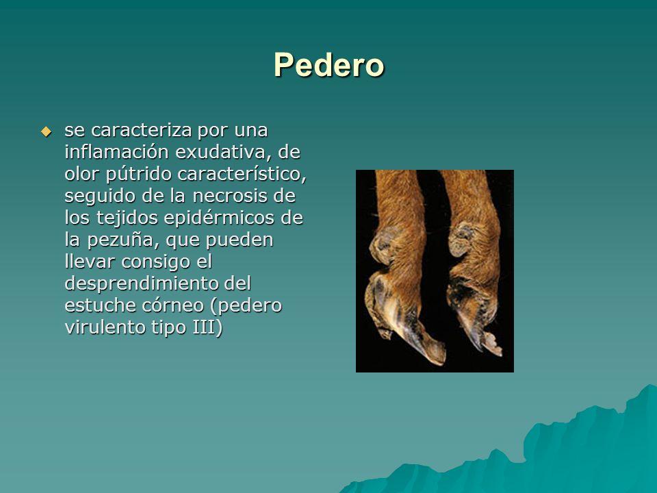 Pedero se caracteriza por una inflamación exudativa, de olor pútrido característico, seguido de la necrosis de los tejidos epidérmicos de la pezuña, q