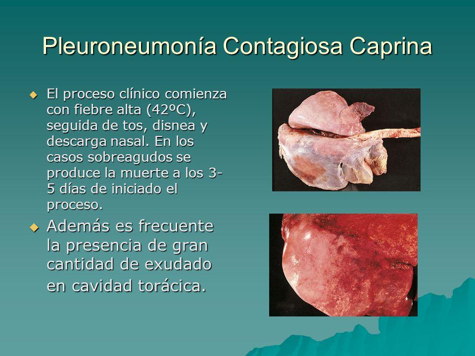 Pleuroneumonía Contagiosa Caprina El proceso clínico comienza con fiebre alta (42ºC), seguida de tos, disnea y descarga nasal. En los casos sobreagudo