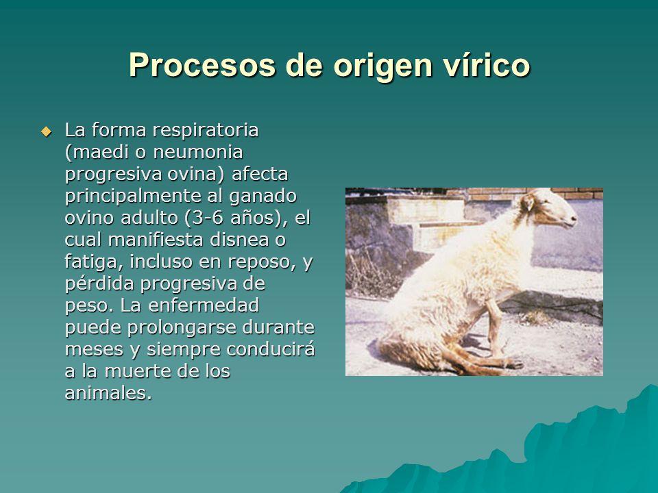 Procesos de origen vírico La forma respiratoria (maedi o neumonia progresiva ovina) afecta principalmente al ganado ovino adulto (3-6 años), el cual m