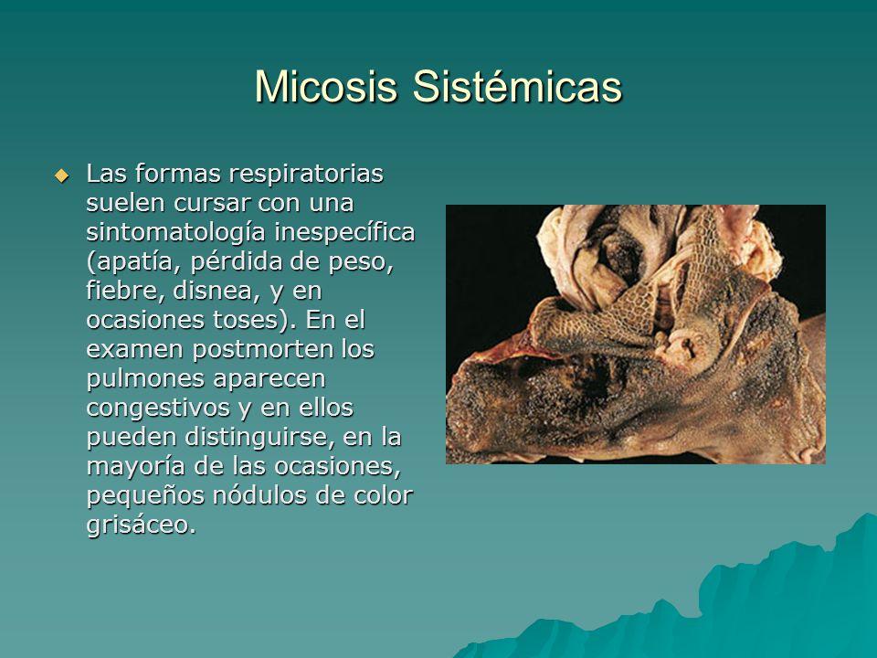 Micosis Sistémicas Las formas respiratorias suelen cursar con una sintomatología inespecífica (apatía, pérdida de peso, fiebre, disnea, y en ocasiones