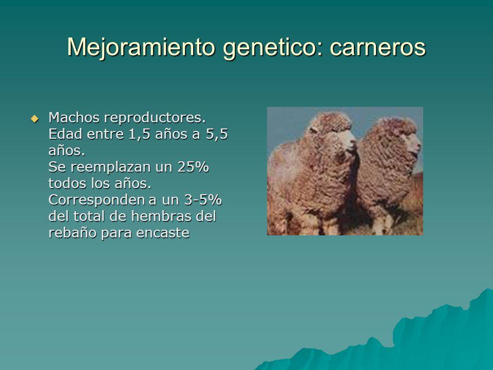 Mejoramiento genetico: carneros Machos reproductores. Edad entre 1,5 años a 5,5 años. Se reemplazan un 25% todos los años. Corresponden a un 3-5% del