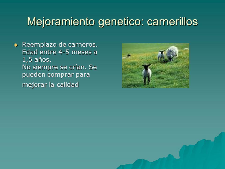 Mejoramiento genetico: carnerillos Reemplazo de carneros. Edad entre 4-5 meses a 1,5 años. No siempre se crían. Se pueden comprar para mejorar la cali