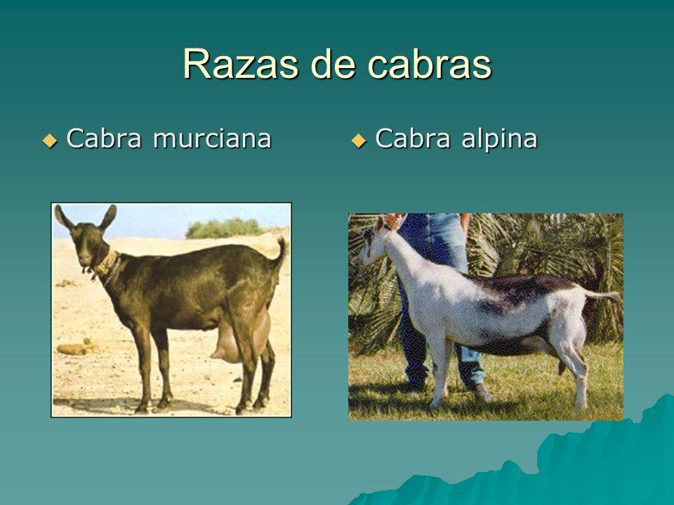 Razas de cabras Cabra murciana Cabra murciana Cabra alpina Cabra alpina