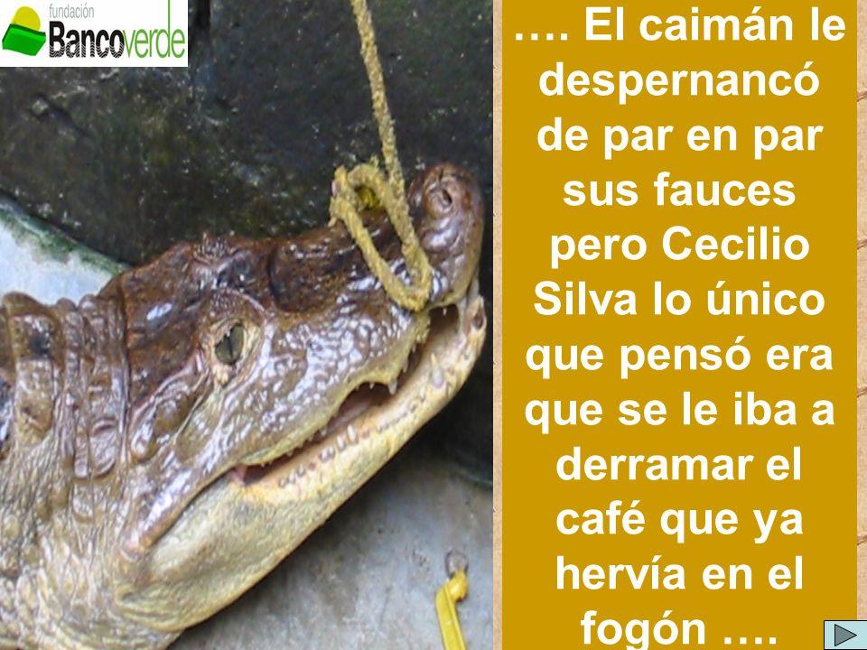 …. El caimán le despernancó de par en par sus fauces pero Cecilio Silva lo único que pensó era que se le iba a derramar el café que ya hervía en el fo