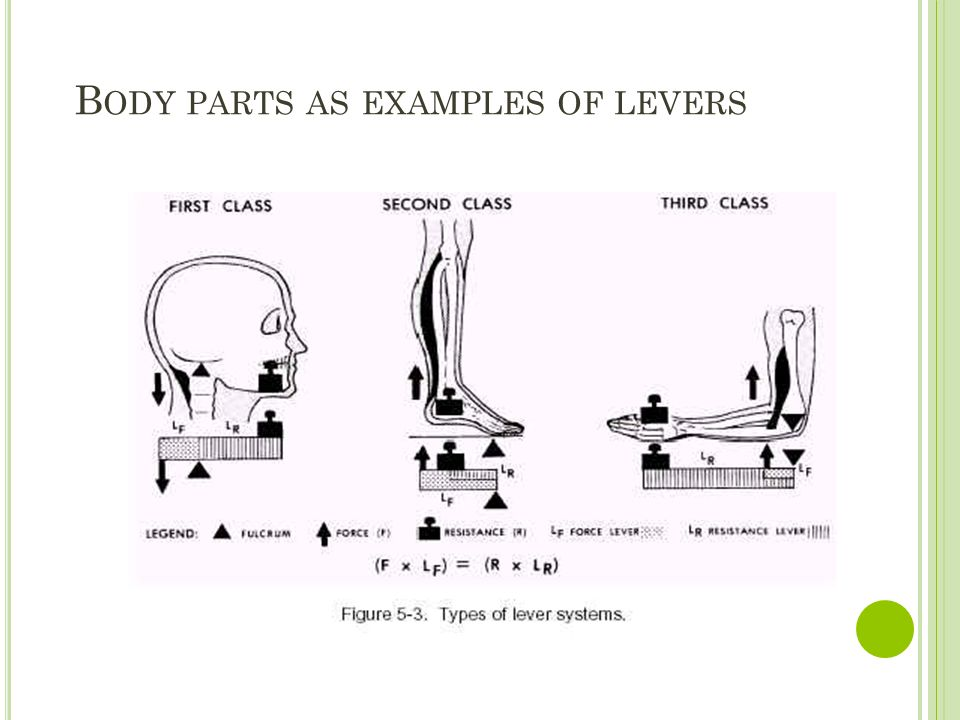 B ODY PARTS AS EXAMPLES OF LEVERS