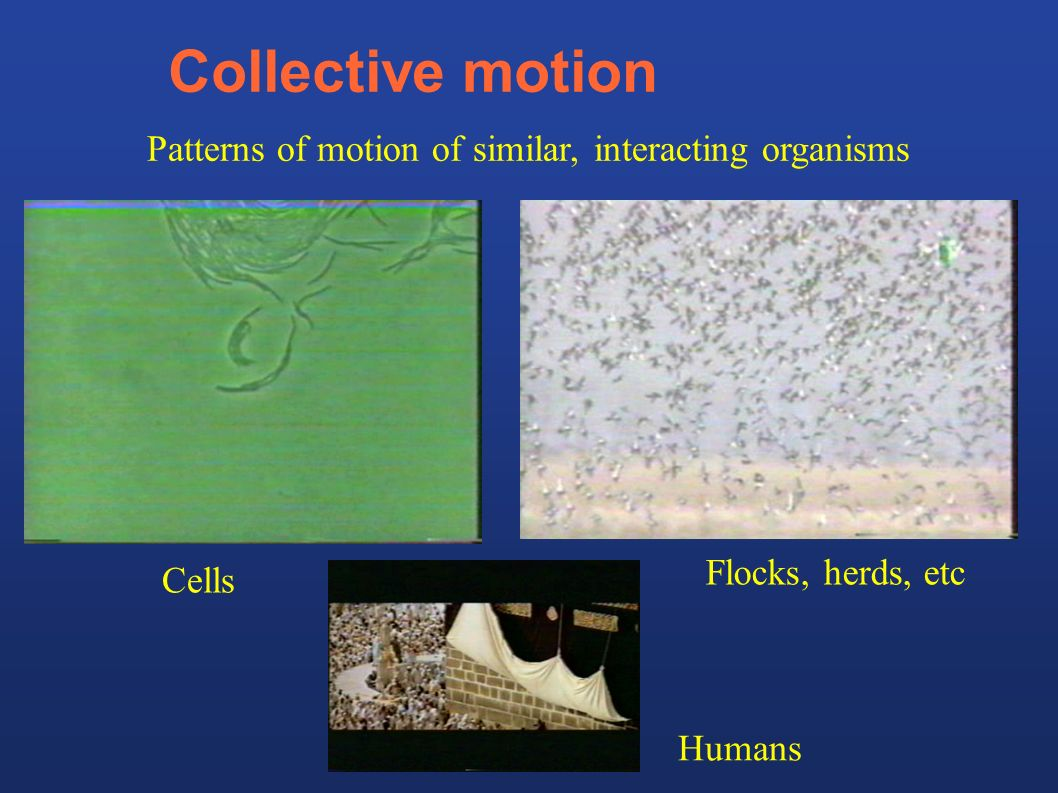 Collective motion Patterns of motion of similar, interacting organisms Humans Cells Flocks, herds, etc