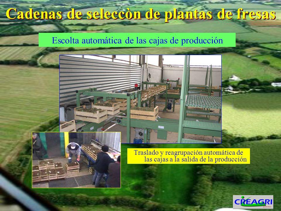 Cadenas de seleccòn de plantas de fresas Traslado y reagrupación automática de las cajas a la salida de la producción Escolta automática de las cajas de producción