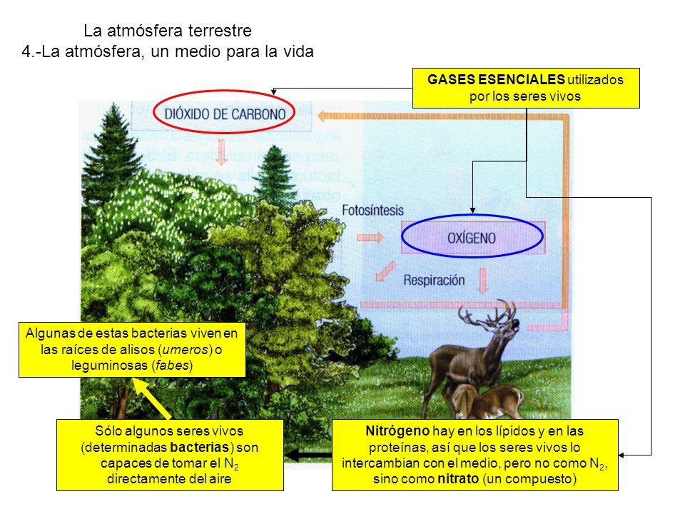 La atmósfera terrestre 4.-La atmósfera, un medio para la vida Nitrógeno hay en los lípidos y en las proteínas, así que los seres vivos lo intercambian con el medio, pero no como N 2, sino como nitrato (un compuesto) GASES ESENCIALES utilizados por los seres vivos Sólo algunos seres vivos (determinadas bacterias) son capaces de tomar el N 2 directamente del aire Algunas de estas bacterias viven en las raíces de alisos (umeros) o leguminosas (fabes)