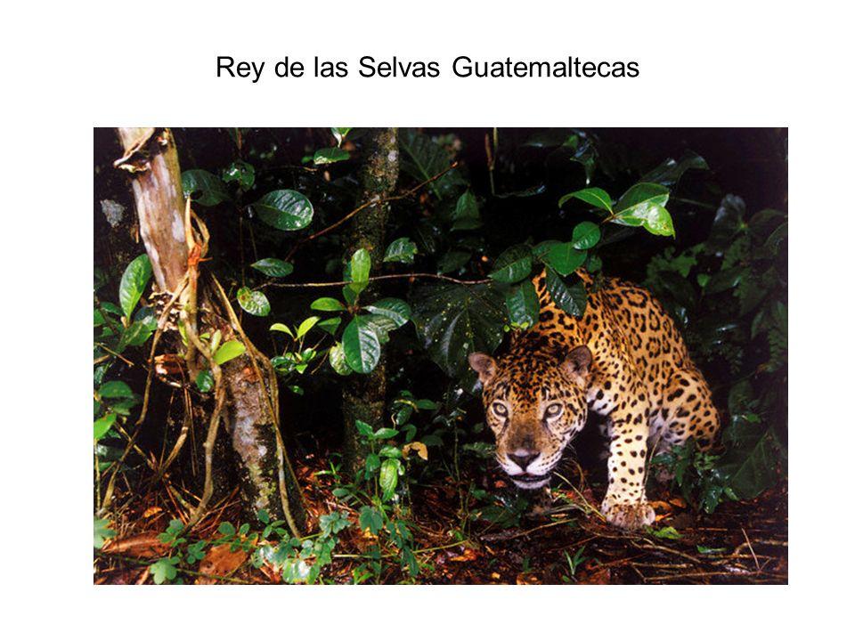 Rey de las Selvas Guatemaltecas