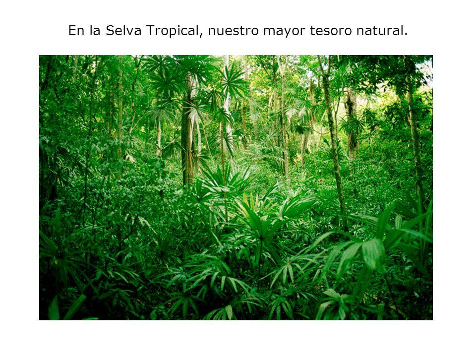 En la Selva Tropical, nuestro mayor tesoro natural.